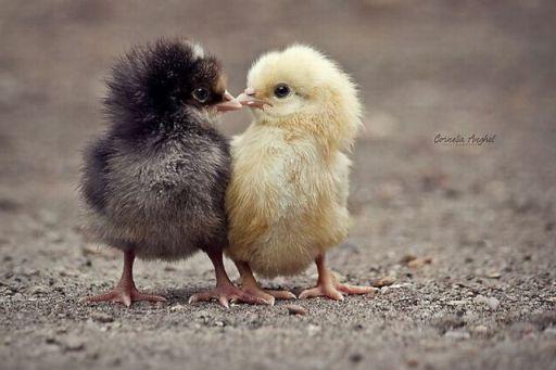 Baby Chicken Quotes: Juokingi Paveiksliukai Su Gyvūnais